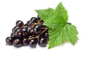 Blackcurrant leaf ribes nigrum